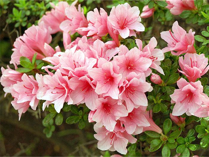 小金原団地-ツツジが咲きました