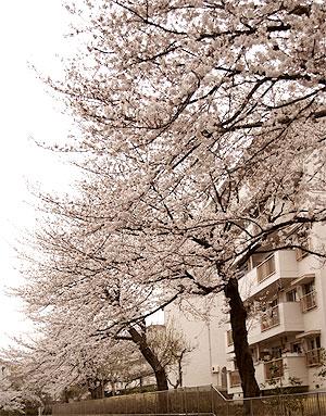 小金原団地の桜